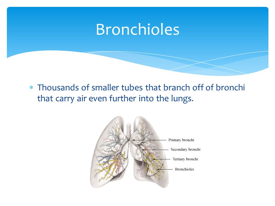 Bronchioles Thousands of smaller tubes that branch off of bronchi that carry air even further into the lungs.