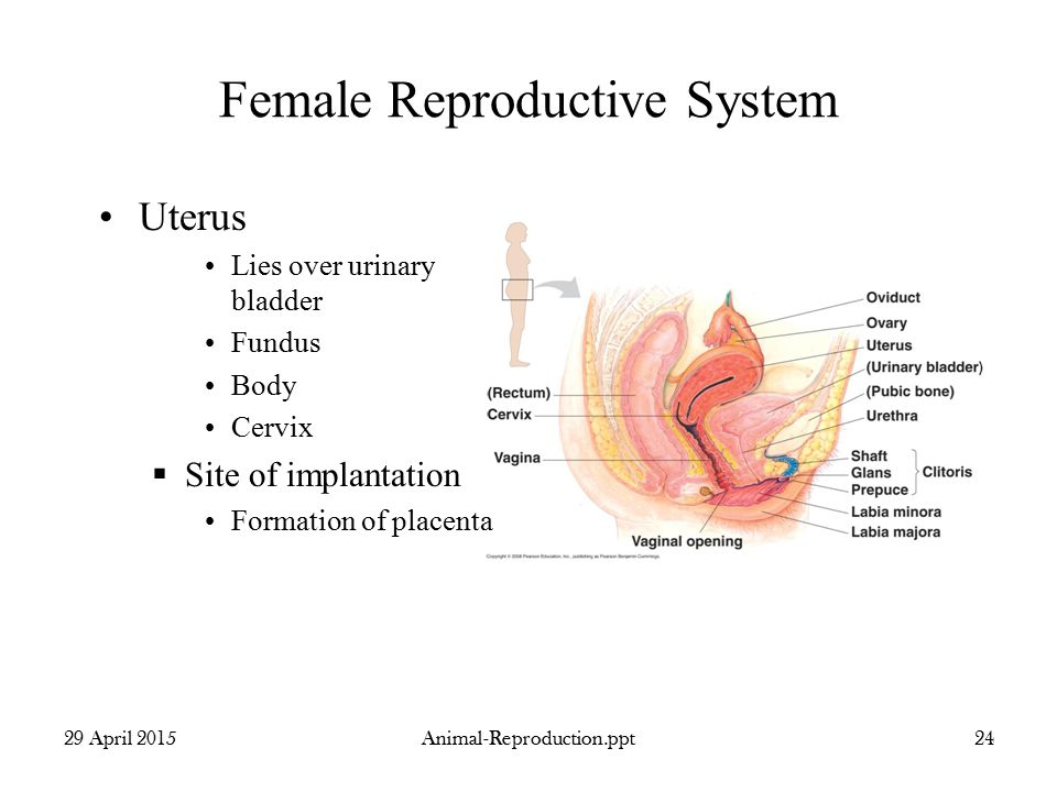 Animal reproduction from chapter april ppt video online download female reproductive system ccuart Choice Image