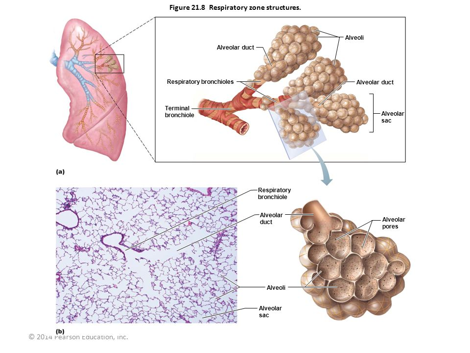 Figure 21.8 Respiratory zone structures.