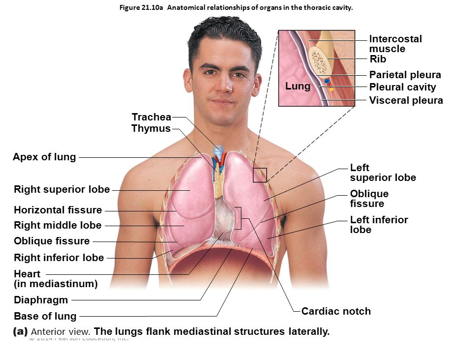 Anterior view. The lungs flank mediastinal structures laterally.
