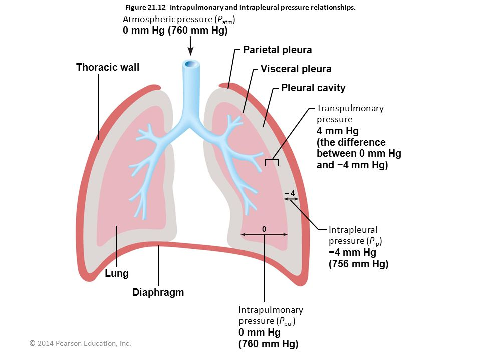 Figure Intrapulmonary and intrapleural pressure relationships.