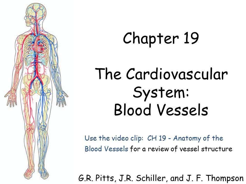 Chapter 19 The Cardiovascular System: Blood Vessels G. R. Pitts, J ...