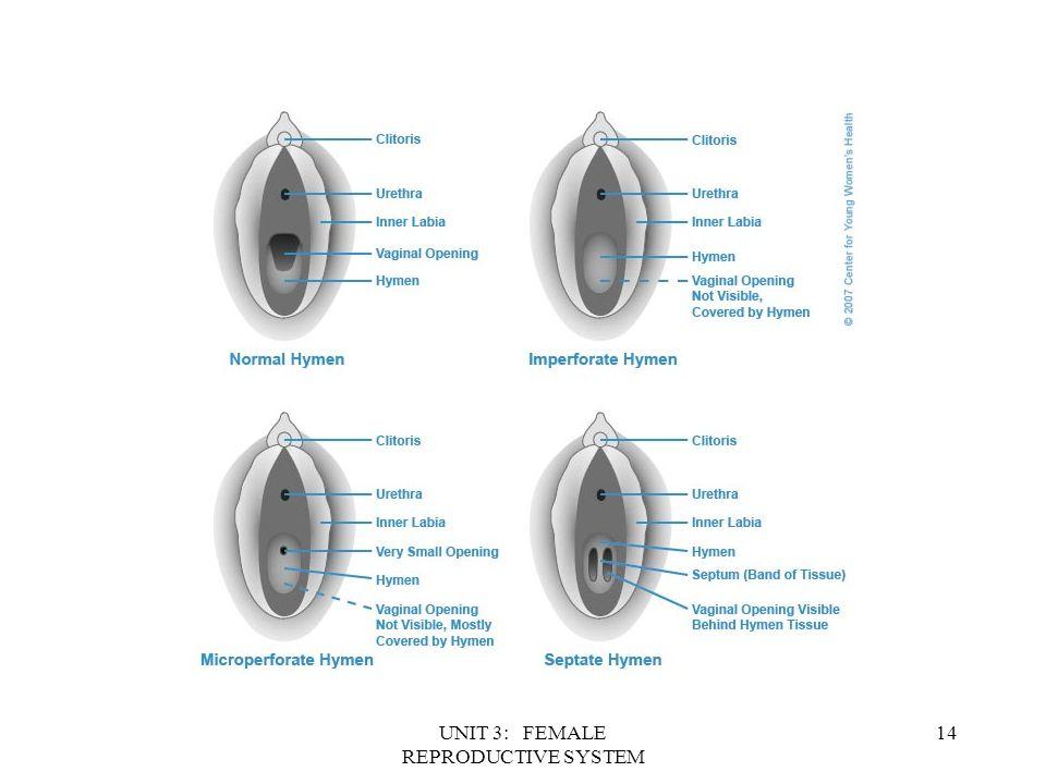 Anatomy Of Hymen Images - human body anatomy