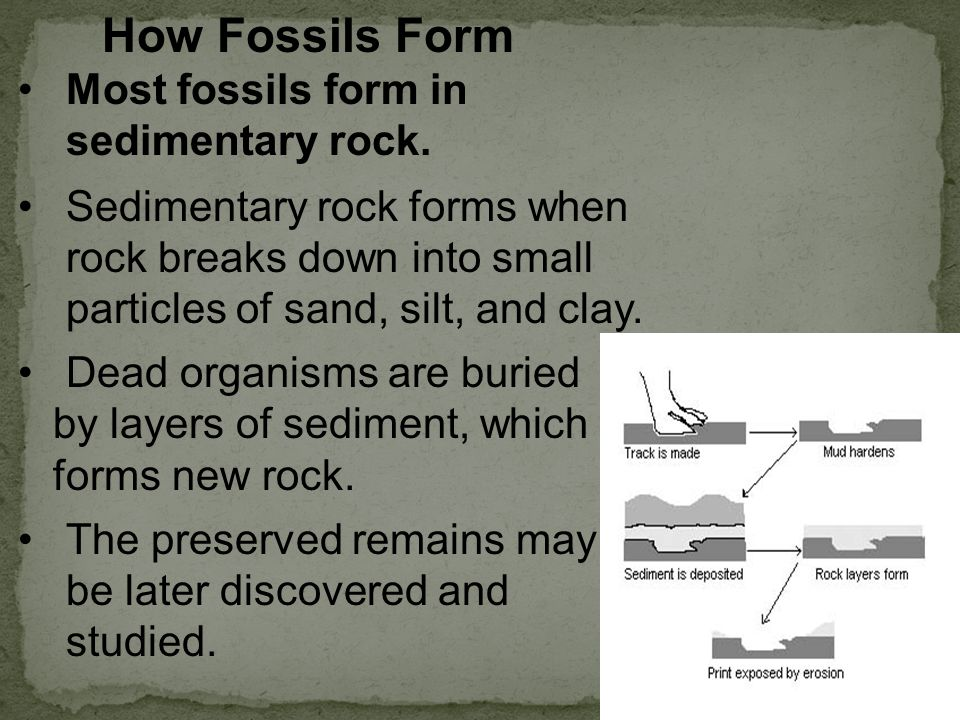 How Fossils Form Most fossils form in sedimentary rock.