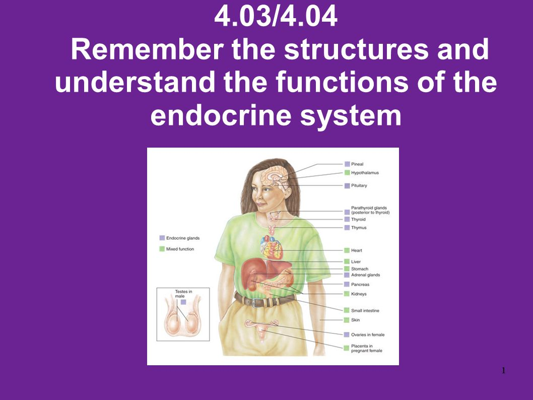 4.03/4.04 Remember the structures and understand the functions of the endocrine system