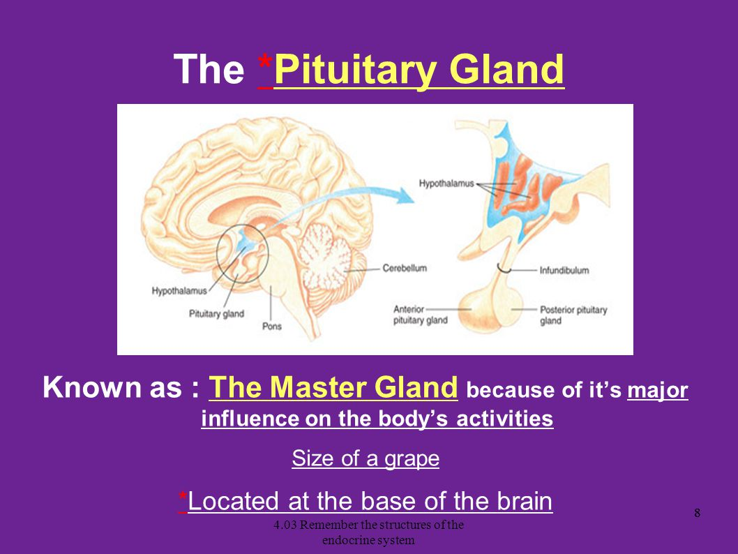 The *Pituitary Gland Known as : The Master Gland because of it's major influence on the body's activities.
