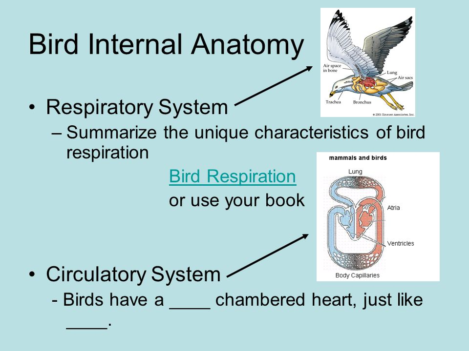 Bird internal anatomy - crazywidow.info