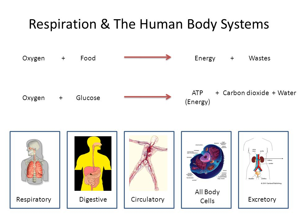 respiration homeostasis Respiration the release of energy from food  all living cells need energy to carry out m r s g r e n, contraction of muscles, build up of larger molecules (eg proteins), maintains steady body temperature (homeostasis)  aerobic.