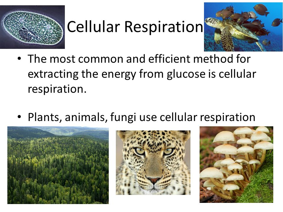 Cellular Respiration The most common and efficient method for extracting the energy from glucose is cellular respiration.