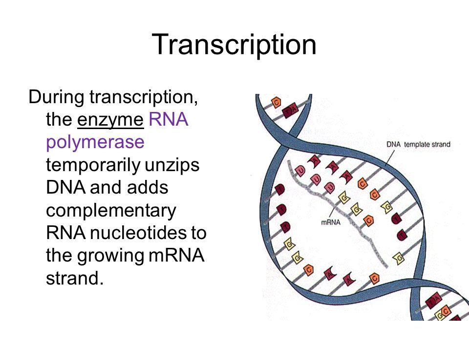 Mrna Strand Nucleotide DNA DNA is the molecul...