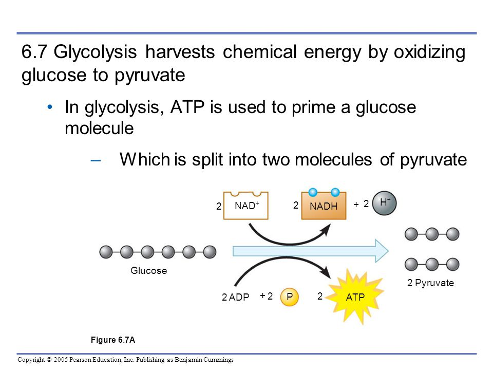 6.7 Glycolysis harvests chemical energy by oxidizing glucose to pyruvate In glycolysis, ATP is used to prime a glucose molecule.