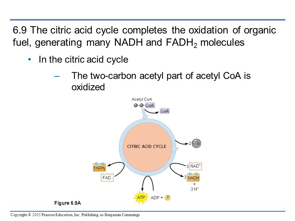6.9 The citric acid cycle completes the oxidation of organic fuel, generating many NADH and FADH2 molecules