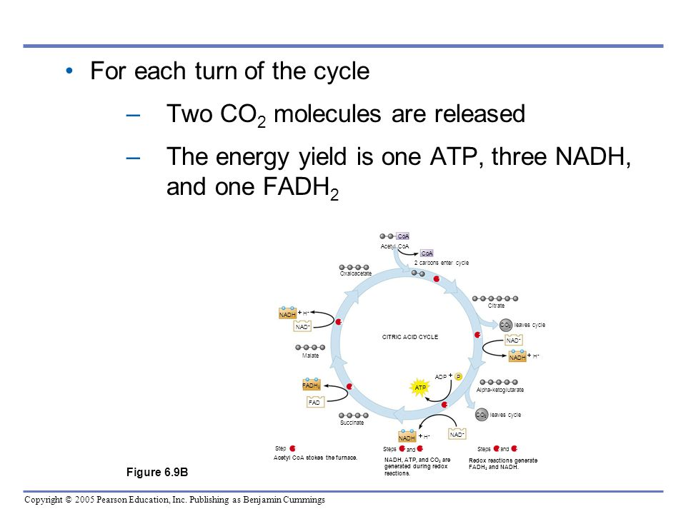 For each turn of the cycle Two CO2 molecules are released