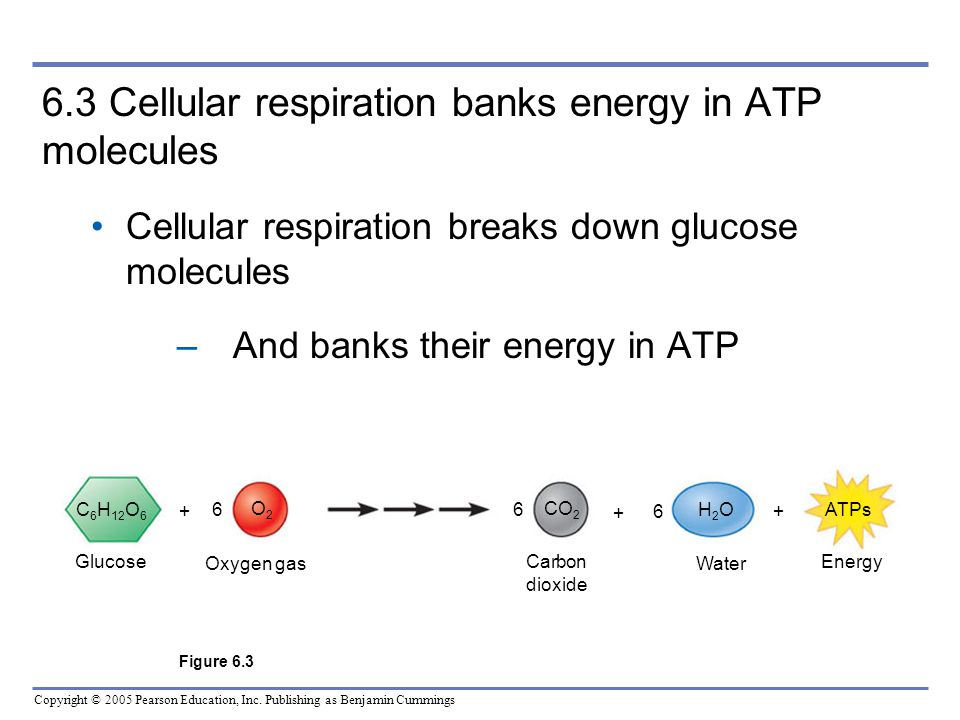6.3 Cellular respiration banks energy in ATP molecules