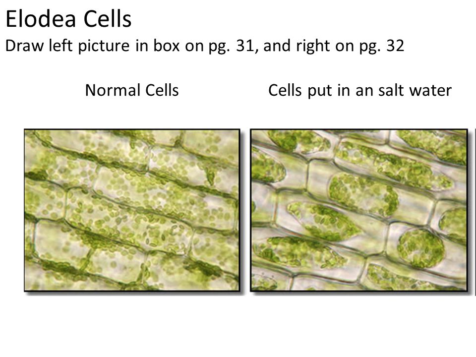 Biology 1 Packet II Lab Plasmolysis in Plant Cells. - ppt ...