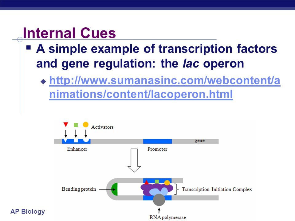Internal Cues A simple example of transcription factors and gene regulation: the lac operon.