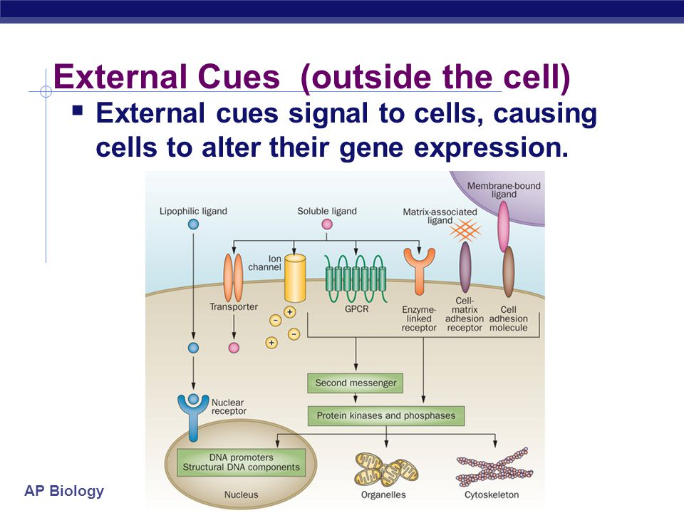 External Cues (outside the cell)
