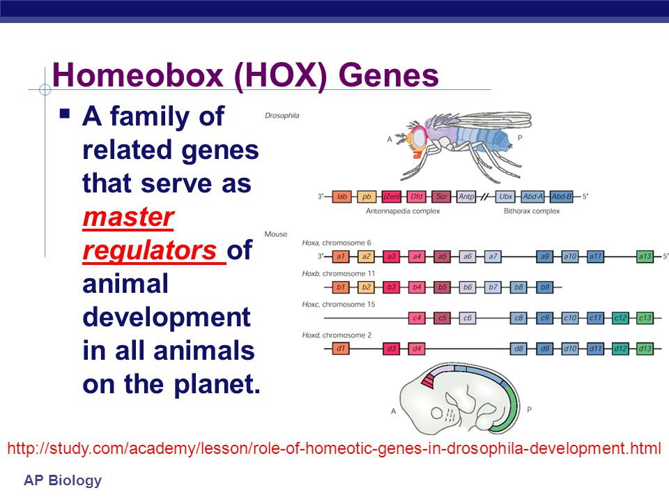 Homeobox (HOX) Genes A family of related genes that serve as master regulators of animal development in all animals on the planet.