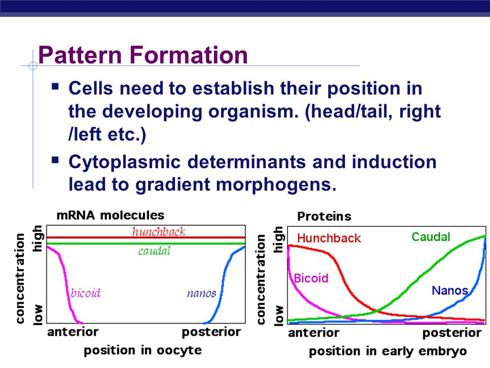 Pattern Formation Cells need to establish their position in the developing organism. (head/tail, right /left etc.)