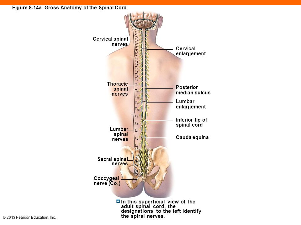 Asombroso Anatomy And Physiology Of The Human Spine Fotos - Anatomía ...