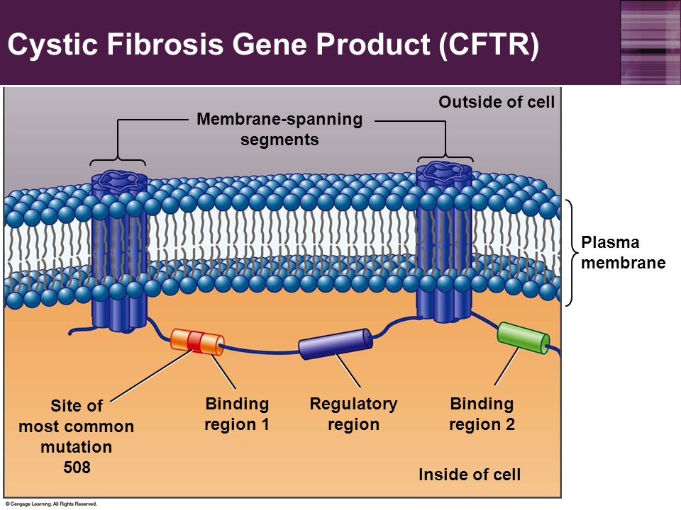 an overview of the characteristics of the cystic fibrosis gene Cystic fibrosis transmembrane conductance regulator gene the cystic fibrosis transmembrane conductance regulator (cftr) gene is responsible for cfthis gene is large, spanning approximately 230 kb on chromosome 7q, and consists of.