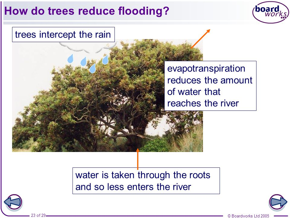 How do trees reduce flooding
