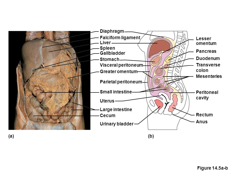 The Digestive System Functions - ppt download
