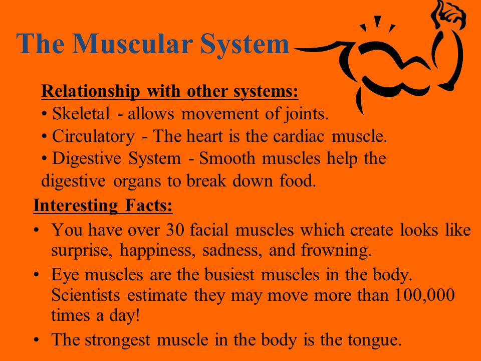 the body systems digestive reproductive excretory immune muscular, Muscles