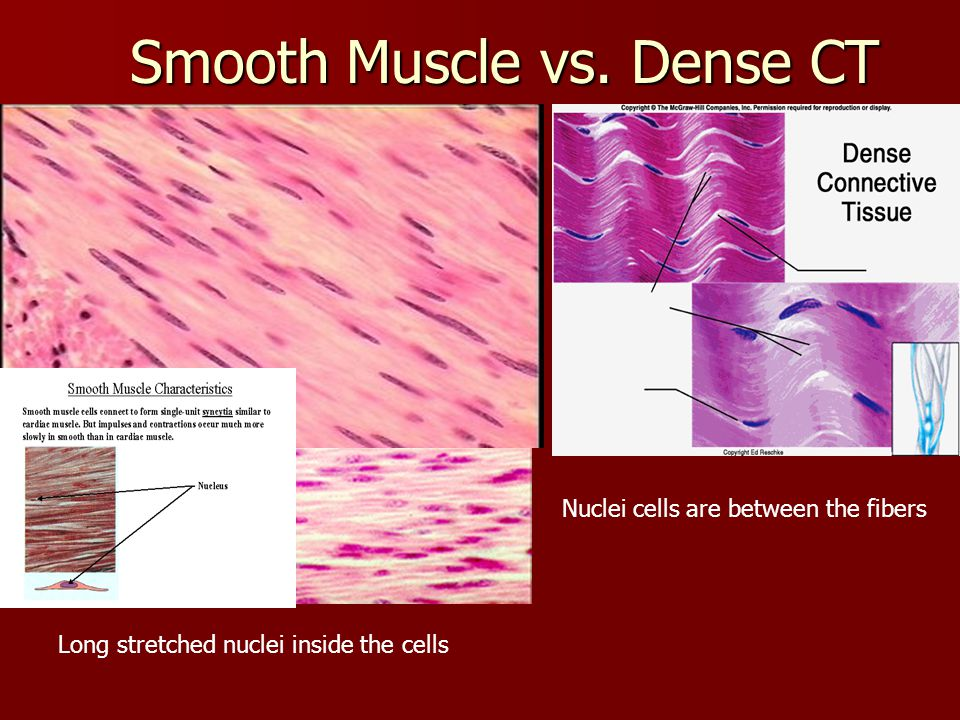Dense Regular Connective Tissue Vs Smooth Muscle | www ...