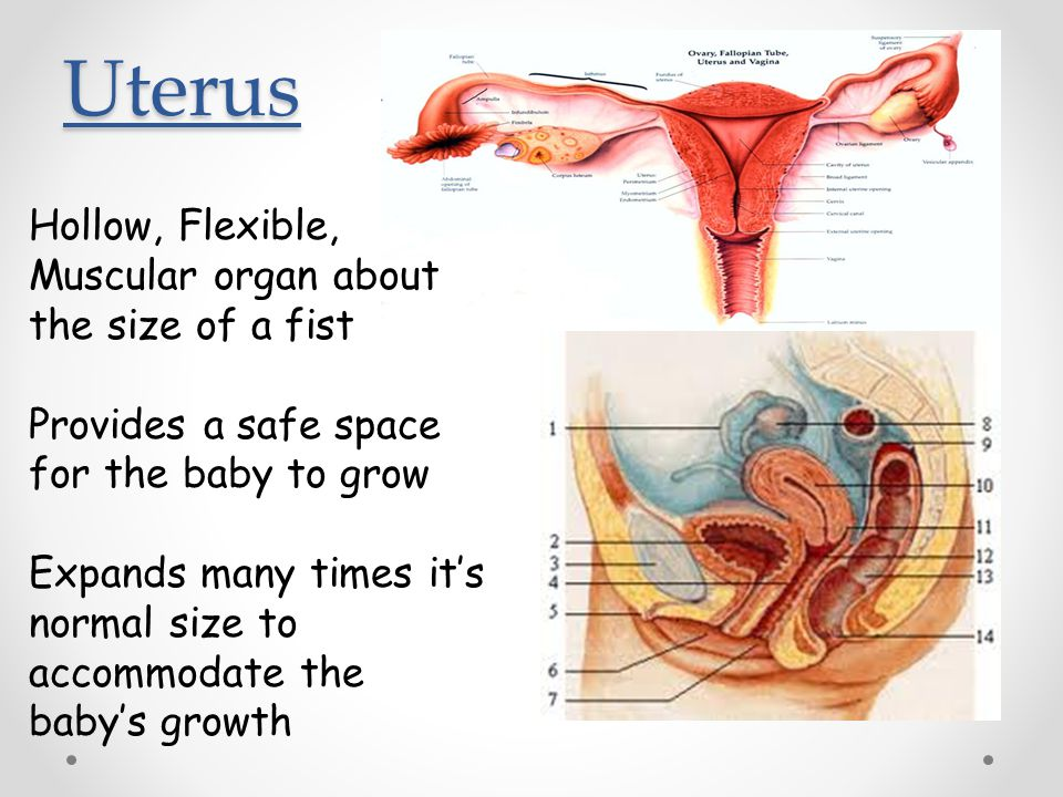Uterus Hollow, Flexible, Muscular organ about the size of a fist