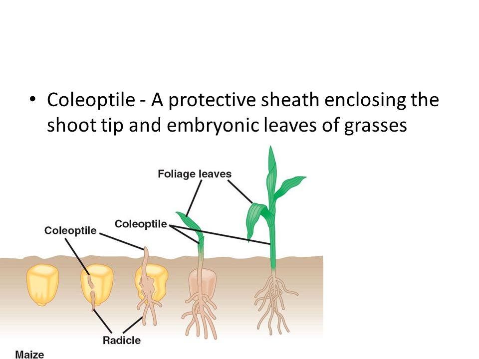 Coleoptile - A protective sheath enclosing the shoot tip and embryonic leaves of grasses