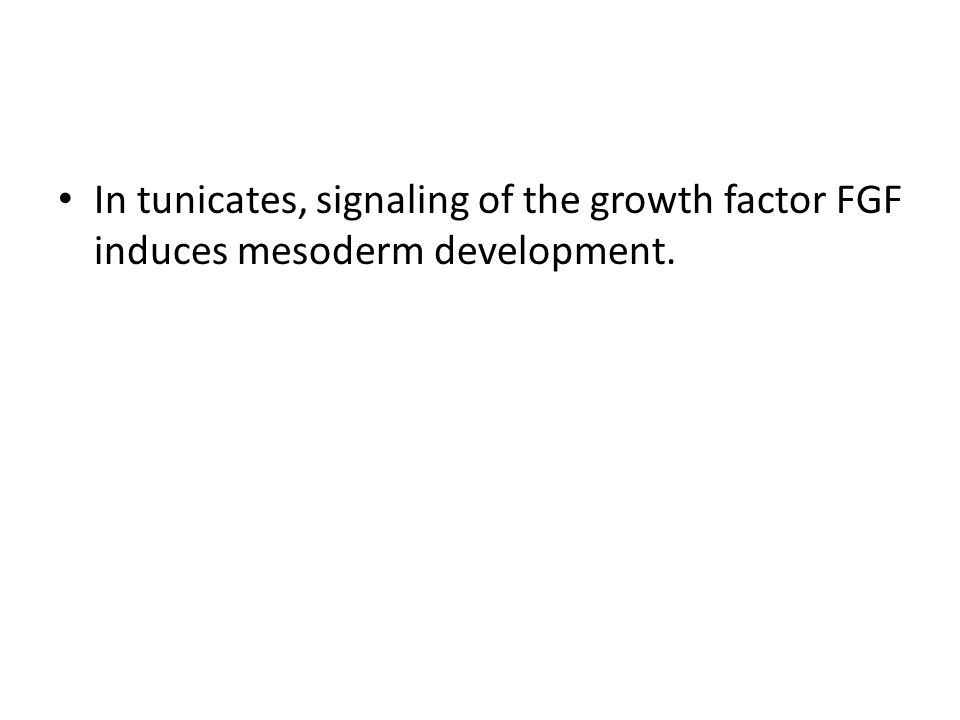 In tunicates, signaling of the growth factor FGF induces mesoderm development.