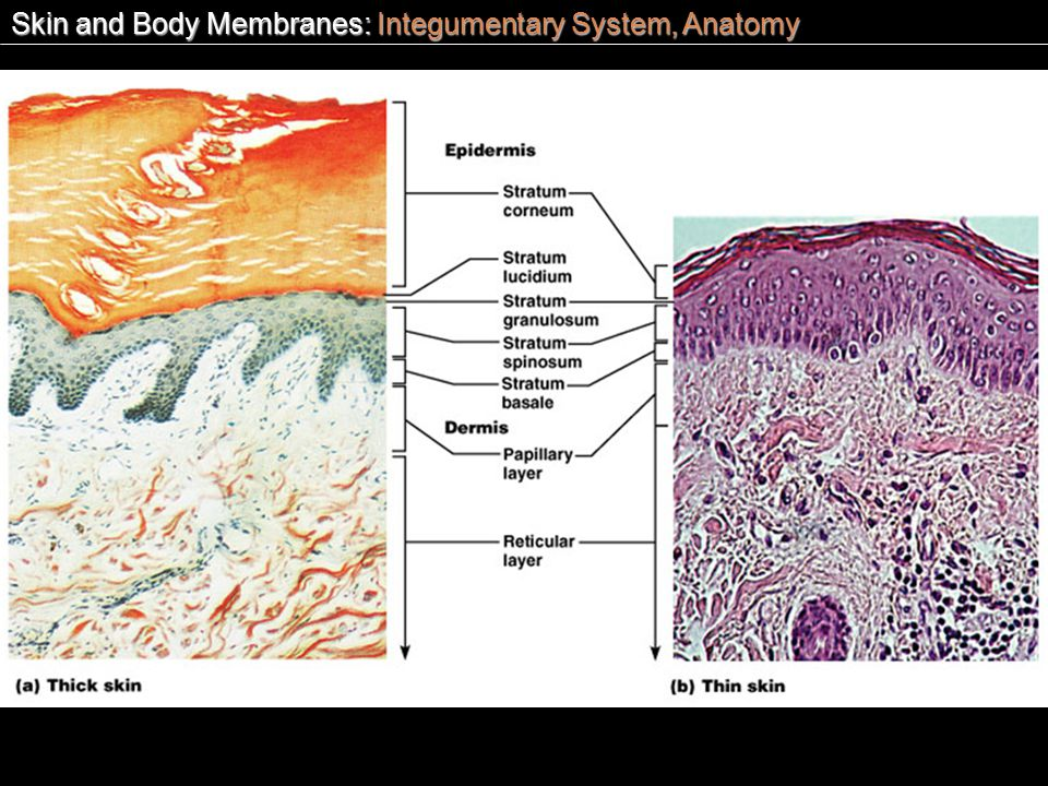 chapter 6 skin and the integumentary Study chapter 6:integumentary system flashcards at proprofs - ms comas -  health science - wbhs  the loss of cells from the surface of tissue, such as  skin.