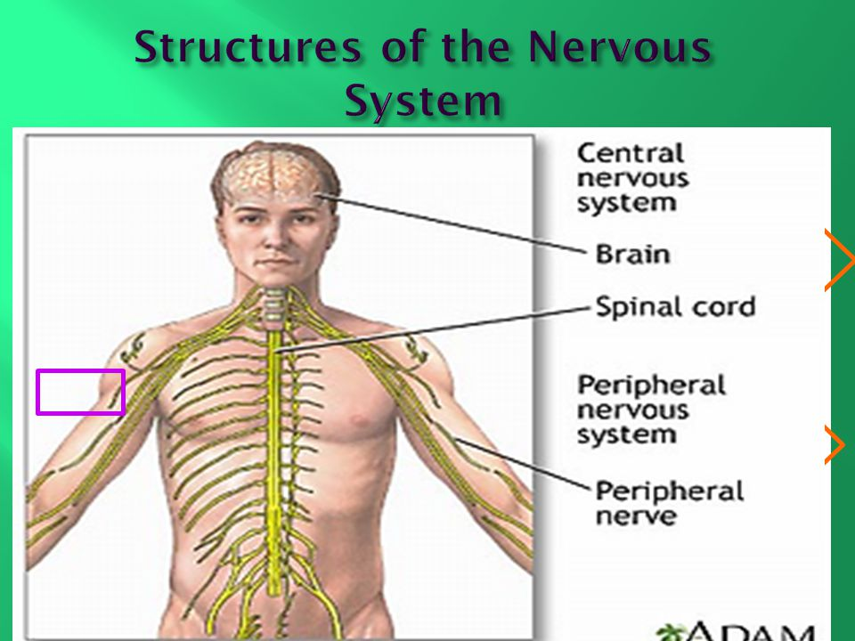 Fantastic Anatomy And Physiology Chapter 9 Nervous System Motif ...