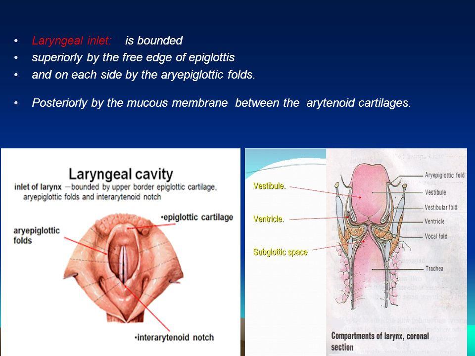 Images Of Laryngeal Inlet Spacehero