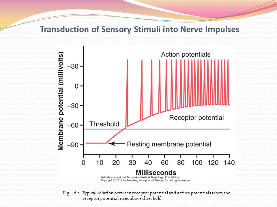 action potential and receptor olfactory receptor Identify which of the stimulus modalities induced the largest-amplitude receptor potential in the olfactory receptors how well did the results compare with your prediction an action potential is an all-or-nothing event.