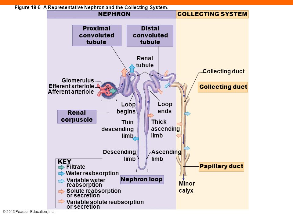 Pearson diagram of nephron wiring library 18 the urinary system ppt download rh slideplayer com blank nephron diagram labled diagram of nephron ccuart Images