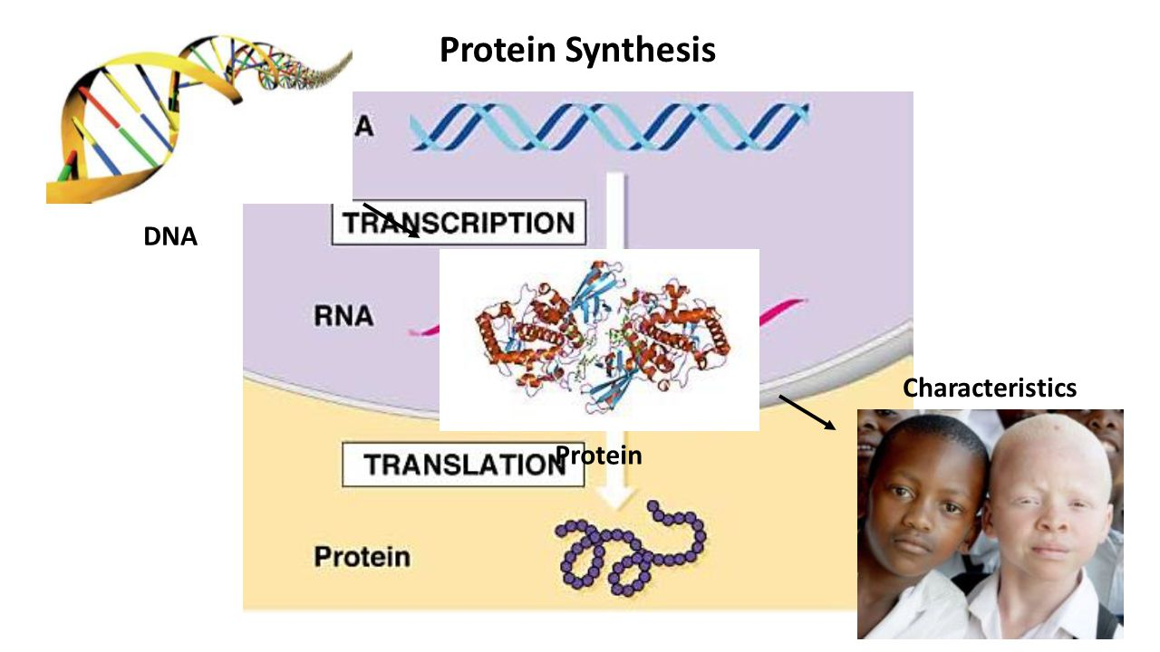 and protein systhesis