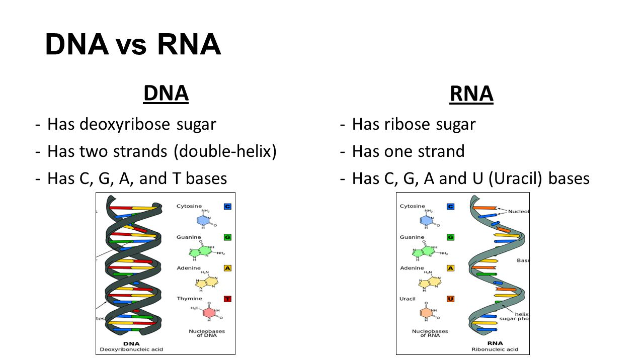 Chapter 13: RNA and Protein Synthesis - ppt download