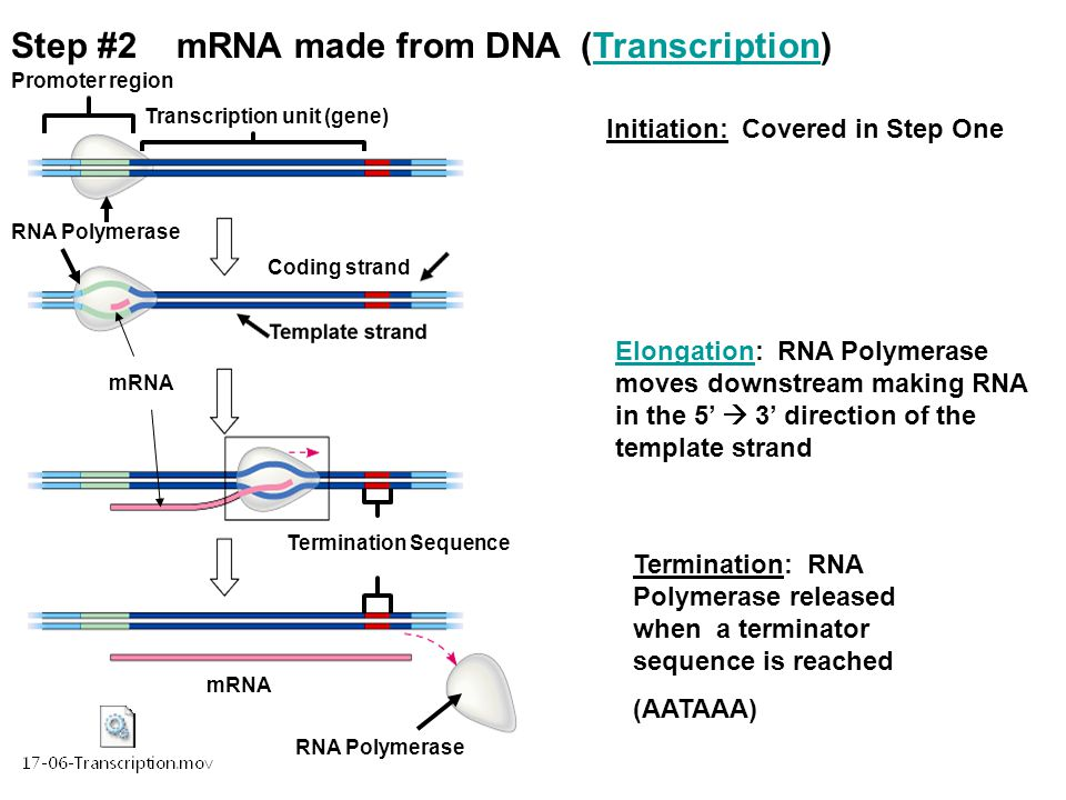 when an rna strand forms using dna as a template - protein synthesis from gene to protein ppt video online