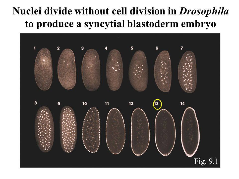 Nuclei divide without cell division in Drosophila to produce a syncytial blastoderm embryo