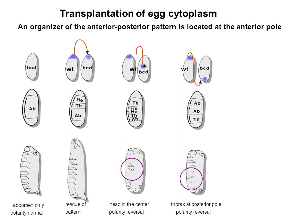 Transplantation of egg cytoplasm
