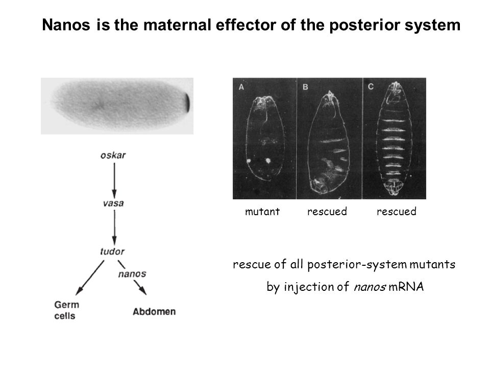 Nanos is the maternal effector of the posterior system