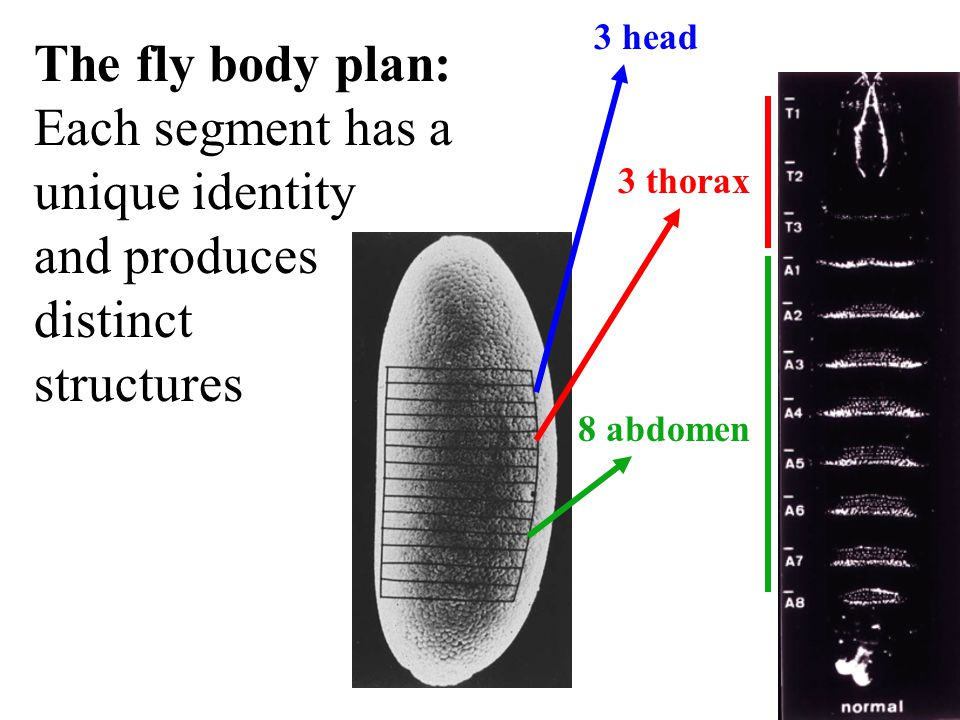 The fly body plan: Each segment has a unique identity