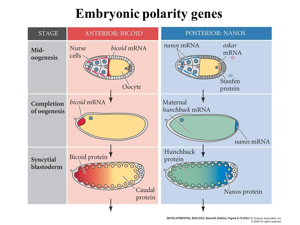 Embryonic polarity genes