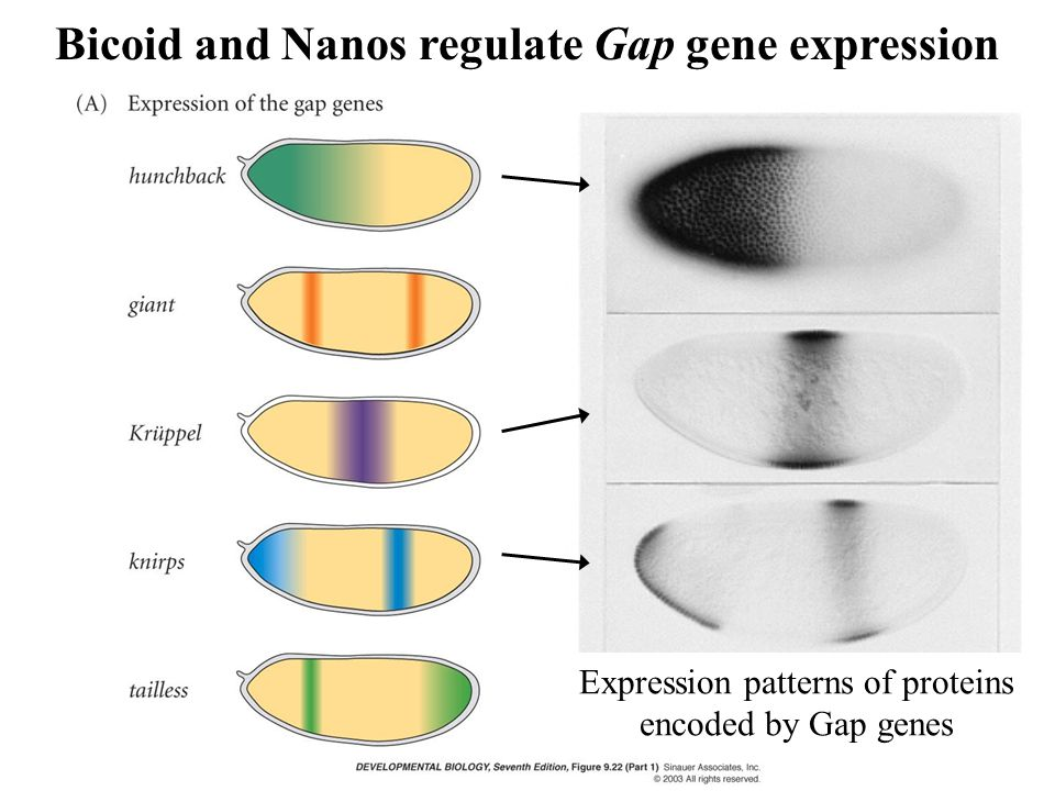 Expression patterns of proteins encoded by Gap genes