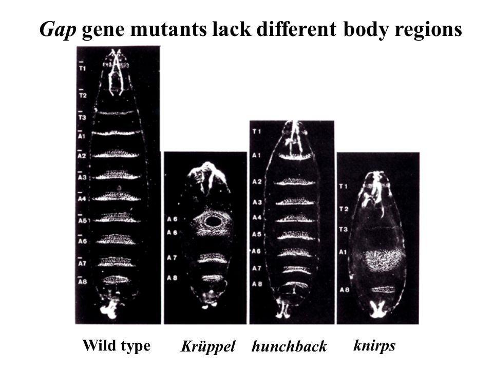 Gap gene mutants lack different body regions
