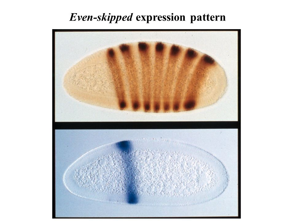 Even-skipped expression pattern