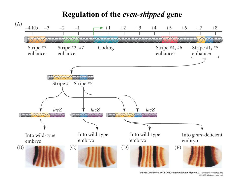 Regulation of the even-skipped gene
