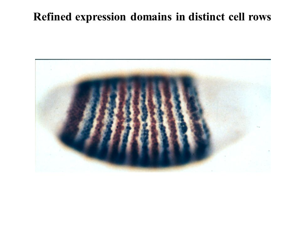 Refined expression domains in distinct cell rows